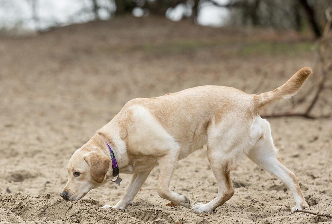 hond-speuren