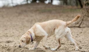 Speuren in het zand (Labrador)